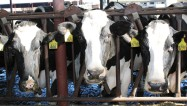 New Hope Dairy cows greet the Fellows during Ag Day
